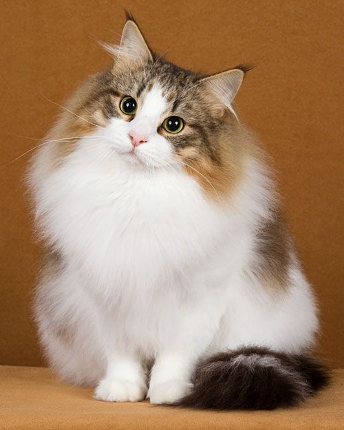 Norwegian Forest Cat, my all time favorite breed. Sweetest, smartest, and most full of individual personality. They're very social too, and friendly, but not at all needy. Most perfect cat, ever.: Forests, Animals, Kitty Cat, Norwegian Forest Cat, Kit