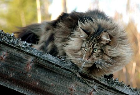 Norwegian forest cat, one of my favourite breeds because they are natural and not manufactured.: Forests, Maine Coons, Animals, Norwegian Forest Cat, Pet, Coon Cats, Cat Breeds, Cat Lady