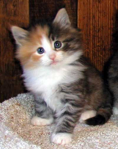Norwegian Forest Cat. So cute and unassuming as a kitten, but grows so big it can terrorize the neighbor's Pit Bull.: Ragdoll, Norwegian Forest Cat, Doll Kitten, Calico Cats, Rag Doll, Kitty, Animal