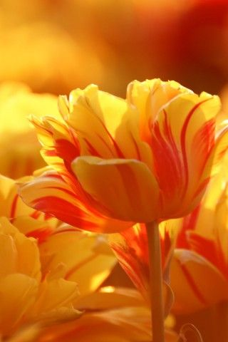 P a r r o t . t u l i p s: Orange Flower, Nature, Color, Orange Tulip, Beautiful Flowers, Tulips, Photo, Garden, Yellow Flower