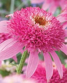 Pink Double Delight Coneflower. A sun loving, heat tolerant all summer long bloomer. It also spreads: Double Delight, Perennial, Doubledelight, Pink Double, Beautiful Flowers, Garden, Delight Coneflower