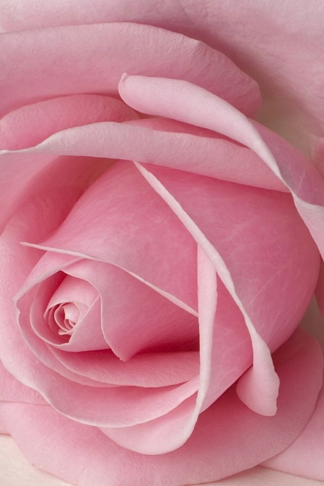»✿❤Pink❤✿ http://ThePinkKit.com: Pink Roses, Things Pink, Perfect Pink, Beautiful Flowers, Pink, Flowers Rose, Garden