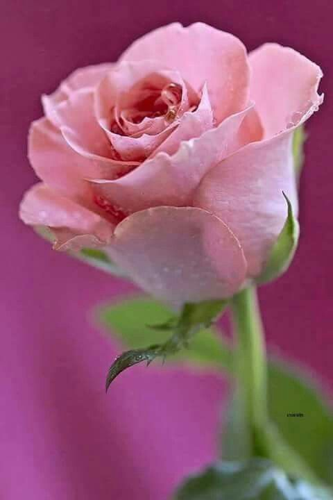 Pink Rose.... | by Thelma Gatuzzo on Flickr: Pink Flower, Pink Roses, Beautiful Roses, Google, Rose Garden