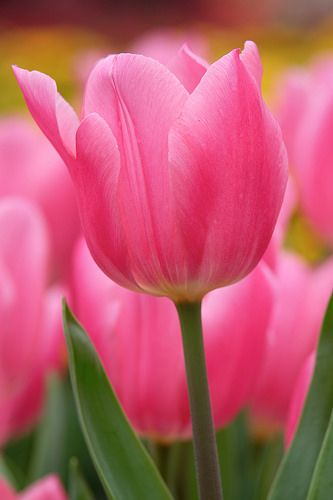 Pink Tulips: Pink Flowers, Beautiful Flowers, Flowers Gardening Trees, Tulips Beautiful, Beautiful Pink, Photo, Pink Tulips