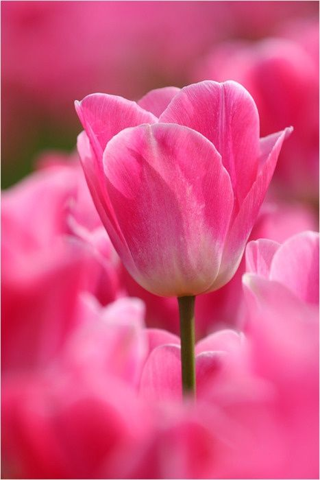 pink tulips: Pink Flowers, Post, Beautiful Flowers, Bloom, Beauty, Garden, Pink Tulips