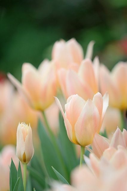 Plant tulip bulbs in your annual flower beds in the fall for a great show in spring.: Pale Peach, Color, Beautiful Flowers, Peaches, Flowers, Garden, Peach Tulips, Pink Tulips