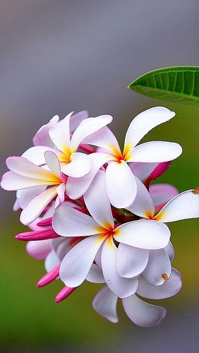 plumeria Plumeria is one of the most intoxicating scent's in the Flower world...unbelievable..: Frangipani Plumeria, Hawaii Flower, Bali Flower, Exotic Flower, Tropical Flower, Flower Photo, Beautiful Flowers, Favorite Flower