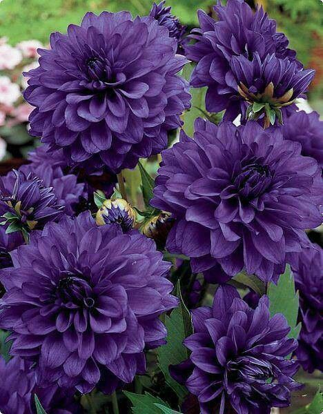 Purple Dahlias: Purple Dahlias, Wedding, Purple Flowers, Purple Passion, Beautiful Flowers, Things Purple, Color Purple, Garden