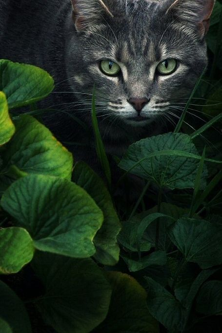 "raindropsonroses82:   ""Hidden"" by Kristen McKain   ... Brought to you in part by StoneArtUSA.com ~ affordable custom pet memorials since 2001: Kristen Mckain, Kitty Cat, Animals, Beautiful Cats, Cat Eyes, Kitty Kitty, Green Eyes, Photo"