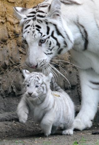 Recordings of white tigers were first made in the early 19th century.  White tigers are not more endangered than tigers are generally, this being a common misconception. Another misconception is that white tigers are albinos, despite the fact that pigment