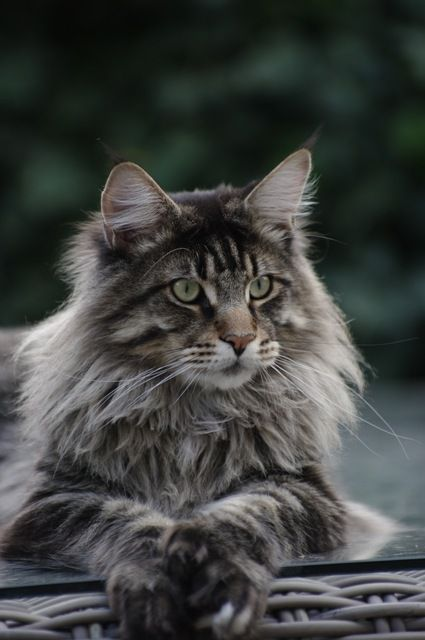 Reminds me of my cat, Jake, that I lost a couple of years ago.  He was 16 and a rebel!  Loved him!!: Cats, Beautiful Cat, Kitty Cat, Main Coon Cat, Pretty Cat, Maine Coon Cat, Animal, Mainecoon