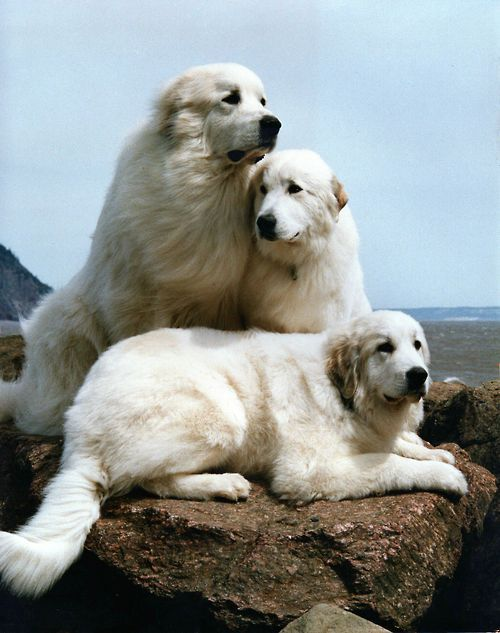 Somehow they kind of look like beached beluga whales. A trio of Great Pyrenees on rocks by the seashore.: Pyrenees Dogs, Beautiful Pyrs, Animal Pictures, Years Ago, Animals Dogs, Great Pyrenees Dog, Big Dogs