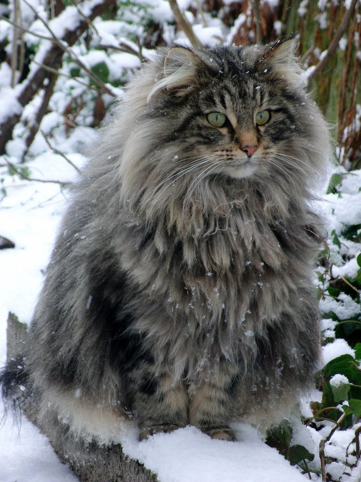 The Norwegian Forest Cat: Cats, Forests, Animals, Norwegianforestcat, Norwegian Forest Cat, Pet, Maine Coon, Beautiful, Kitty