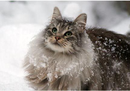 The Norwegian Forest cats are said to have accompanied the Vikings on their journeys...: Forests, Norwegianforestcat, Animals, Norwegian Forest Cat, Maine Coon, Pets, Snow, Kitty