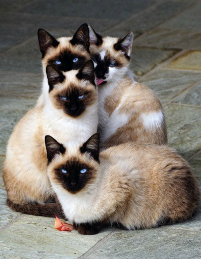 These #siamese #cats look like they're about to do something very very stupid...#love them: Siamese Cats, Kitty Cat, Animals, Pets, Kitty Kitty, Kittens, Eye