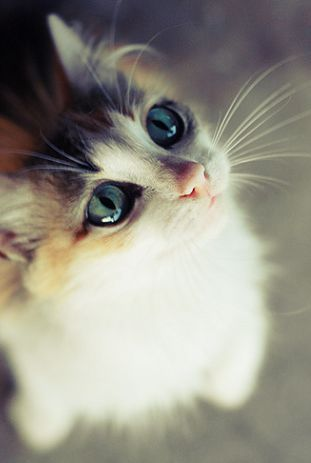This Pin was discovered by Beth Stratton. Discover (and save!) your own Pins on Pinterest.: Beautiful Cat, Kitty Cats, Animals, Meow, Cute Cats, Beautiful Eyes, Blue Eyes, Kittens