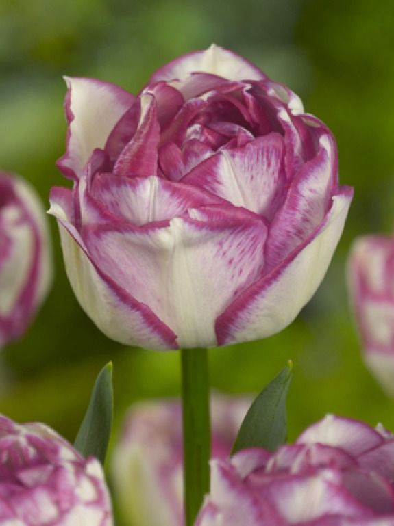 ~Tulip 'Double Touch': Tulip Doubletouch, Garden Flowers, Becautiful Flowers, Tulips Double