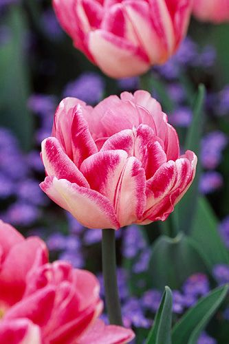 ~Tulip 'foxtrot' and blue forget-me-nots.: Color, Flower Power, Tulip Foxtrot, Pink, Tulips, Flowers, Garden, Spring