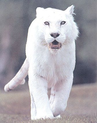 White Tiger: White Tigers, Big Cats, Animals, White Lion, Pure White, Bigcats, Wild Cats