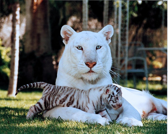White Tiger: White Tigers, Big Cats, Beautiful Animal, Wild Animals, Baby, Wild Cats, Cats Big