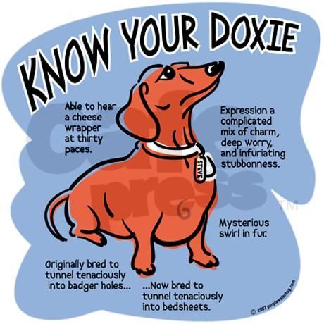 Wow, this is Scooter to a T! Even down to the mysterious swirl in the fur. :): Animals, Dogs, Truth, Weiner, Doxie S, Doxies, So True