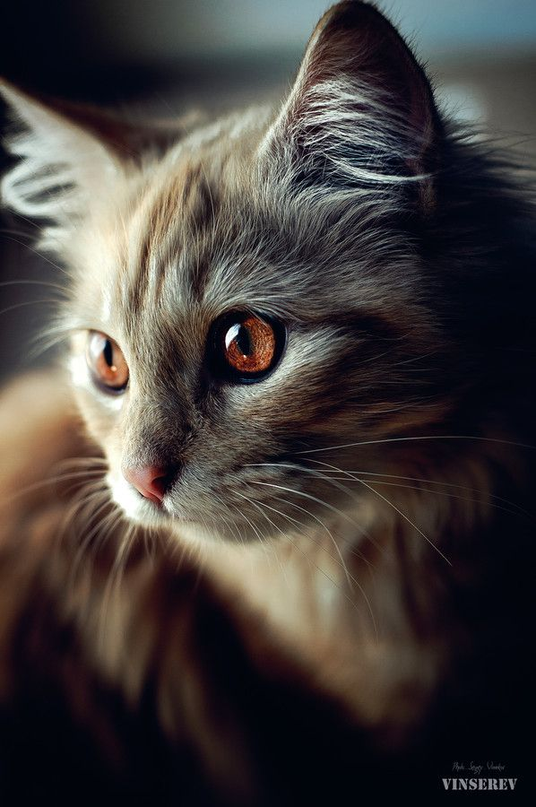 wowtastic-nature:  Tariya by  Сергей Винников on 500px.com (Original Size - Height: 1600px - Width: 1063px): Kitty Cats, Animals, Beautiful Cats, Brown Eye, Pretty Cat, Kitty Kitty, Chat, Сергей Винников, Eyes