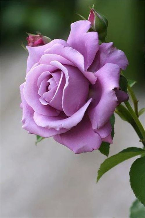 10 Most Beautiful Roses: Lavender Roses, Color, Sterling Silver, Beautiful Flowers, Pink, Beautiful Rose, Garden, Purple Roses, Silver Rose