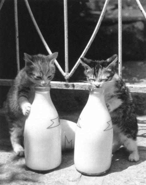 "* * "" Whenz ya lick down to wheres ya can'ts reach any mores milkers; just knock over de bottles."": Cats, Animals, Milk, Pet, Funny, Kitty Kitty, Kittens, Cat Lady"