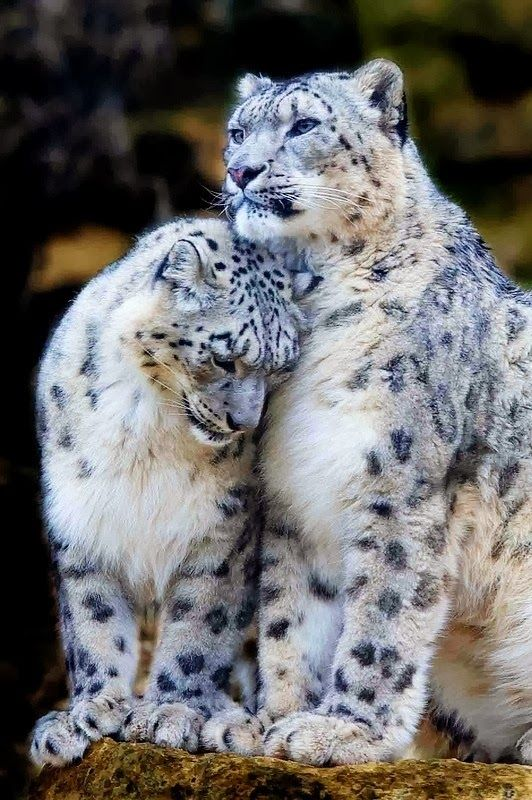 5 Amazing shots of White Tigers and Leopards The Pet's Planet: Big Cats, Nature, Snow Leopards, Beautiful Animals, Bigcats, Wildlife, Wild Cats, Photo