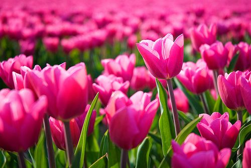 All Things Girly & Beautiful: Field, Nature, Color, Beautiful Flowers, Flower Power, Garden, Spring, Photo, Pink Tulips