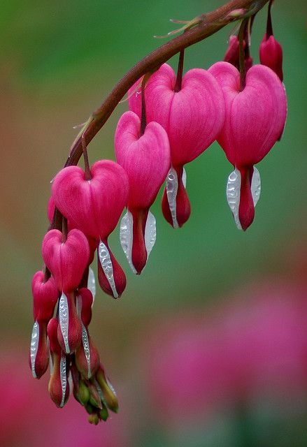 THANK YOU, THANK YOU, THANK YOU!             A Fun and Beautiful Board        Because of all of us!!!!!: Nature, Bleeding Hearts, Beautiful Flowers, Bleeding Heart Flower, Bleedinghearts, Garden, Flower, Favorite Flower