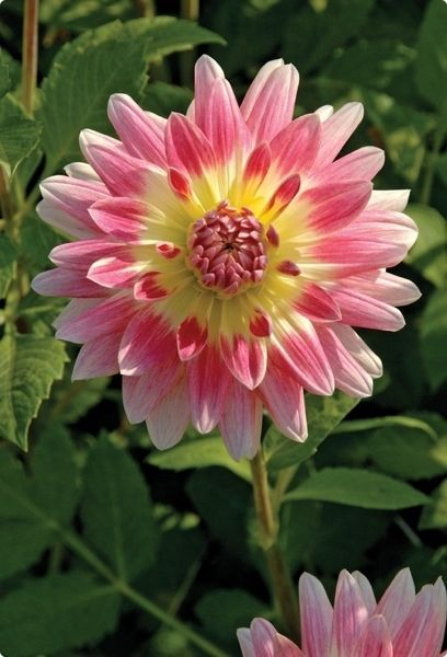 Tropical sunset dahlia: Dahlia Tropical, Sunsets, Dahlias, Beautiful Flowers, Gardens, Sunset Dahlia, Tropical Sunset