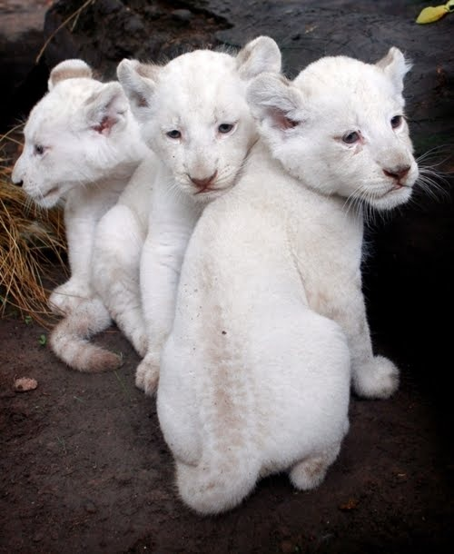 White Lion Cubs  Did you know? There are only 3 white lion prides left in the wild in the world. #savethewhitelions  Read more at whitelions.org: White Lions, Animals, Big Cats, Baby White, Bigcats, Beautiful, Wild Cats, Lion Cubs