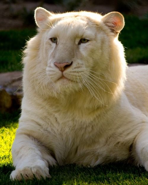 White Lion - Looking Very KINGLY !: White Tigers, Lions Tiger, White Lions, Big Cats, Animals, Animal Kingdom, Beautiful White, Bigcats, Wild Cats