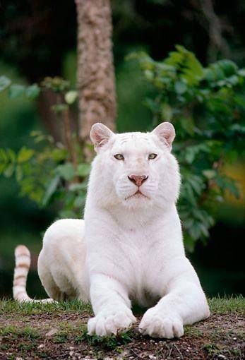 White tiger: White Tigers, Animals, Big Cats, Bigcats, Beautiful, Bengal Tiger, Whitetigers, Wild Cats, White Bengal