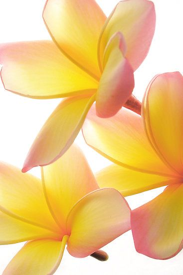 Yellow Frangipani by AnnieD: Plumeria, White Flower, Color, Yellow Frangipani, Pure White, Beautiful Flowers, Flower Power, Garden, Snow White