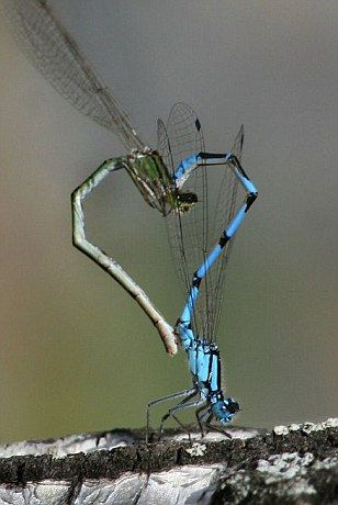 I have always loved that when they mate they create a heart shape. Amazing creatures.: Dragon Flies, Animals, Dragonflies Mating, Dragonfly S, Heart Shapes, Dragonfly Heart