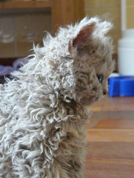 Selkirk Rex - curly-haired cat