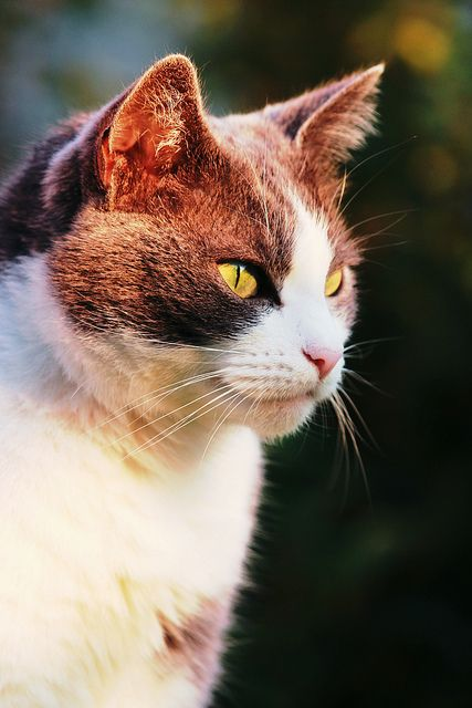 """""""A cat improves the garden wall in the sunshine and the hearth in foul weather."""" --Joan Asper McIntosh: Cats Cats, Cats Meow, Beautiful Cats, Pretty Cat, Cat S, Animals Cats, Cats Kittens, Baby Cats, Cats Life"""
