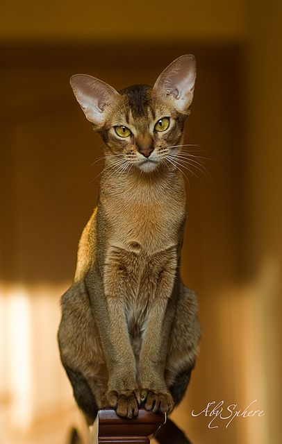 ❥ Abyssinian CatBrought to you by Cookies In Bloom and Hannah's Caramel Apples   www.cookiesinbloom.com   www.hannahscaramelapples.com: Cats Cats, Beautiful Cat, Kitty Cat, Cat Abyssinian, Kitty Kitty, Kittens Cat, Abyssinian Cats, Cats Kittens, Cat B