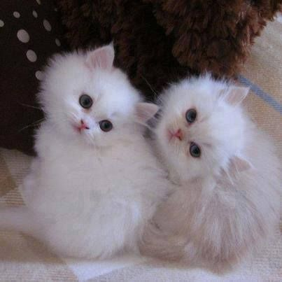 Awww! Sweet snowflake kitties!: Kitty Cats, Sweet, Adorable Kittens, White Cats, Kitty Kitty, Cat S, Cats Kittens, White Kittens