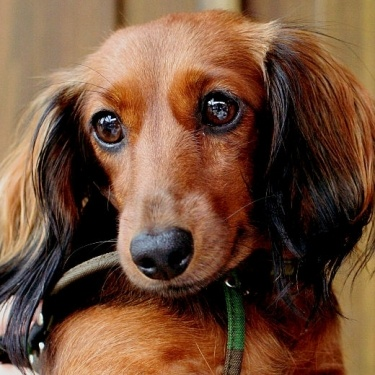 Dachshunds have the most soulful eyes...: Things Dachshund, Beautiful Doxie, Beautiful Eyes, Haired Doxie, Doxie S, Daschunds Dachshunds Doxies, Weiner Dogs, Wiener Dogs