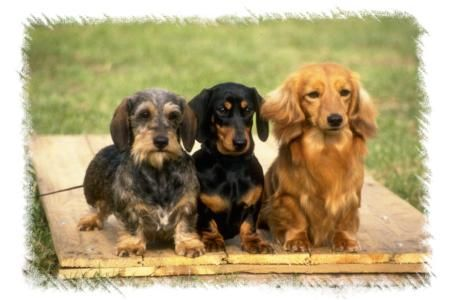 Dog breed:  Dachshund, Wiry Dachshund, Long haired Dachshund: Pet, Wiener Dogs, Wire Hair, Animal, Smooth Long