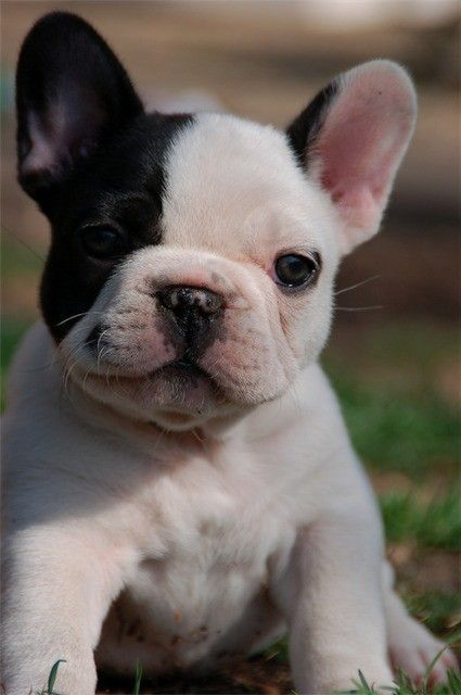 french bulldog. (:    Puppy Dogs  multicityworldtravel.com We cover the world over 220 countries, 26 languages and 120 currencies Hotel and Flight deals.guarantee the best price  Limited Edition French Bulldog Tee: French Bulldogs, Pet, Frenchbulldog, Fre