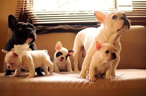Frenchie Family! #puppy #frenchbulldog #bulldog: French Bull Dog, Frenchie Family, French Bulldogs, Pet, I Will, Animal