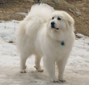 Great Pyrenees | Great Pyrenees more characteristics3: Awesome Dogs, Pyrenees Dogs, Favorite Breed, Future Pet, Doggy Pyrenees, Great Pyrenees Dog