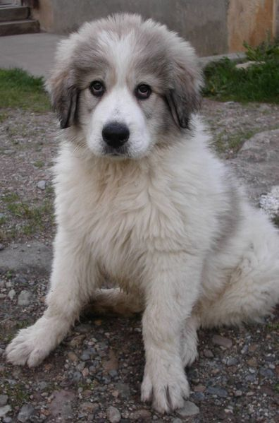 great pyrenees -- my dream doggie!!  (I need a bigger yard!): Pyrenees Dogs, Animals Dogs, Pyrenees Jackson, Puppy Dog Eyes, Dogs Puppies, Pyrenees Dawwww, Great Pyrenees Puppy, Great Pyrenees Dog, Pyrenees Puppies