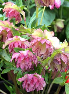 """Helleborus 'Peppermint Ice' """"Lenten Rose""""  Great plants for dry shade. Deer don't like them and a dose of Sluggo will keep the snails at bay.: Roses For Shade, Bay, Hearty Shade Plants, Flowers Helebores, Garden Shade, Plants For Dry Shade, Dry Shade"""