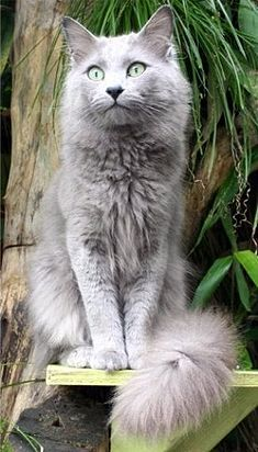 """Nebelung cat -- a rare American breed of cat.  Named for the German word for """"mist"""" or """"fog."""": Cats Cats, Grey Cat, Beautiful Cat, Kitty Cat, Gray Cat, Nebelung Cats, Cat Nebelung, Domestic Cat"""