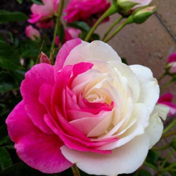 Pink and White Rose: Beautiful Roses, White Roses, Flowers Plants, Beautiful Flowers, Rose Garden, Flowers Garden